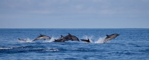 Dolphins/Azores/Portugal