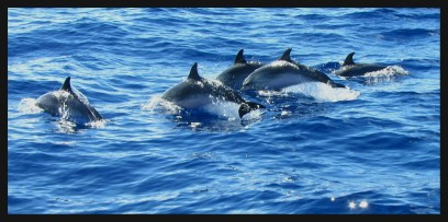 dolfijnen-spotten-op-madeira-vakantie portugal